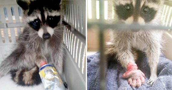 Raccoon's hand swells four times its size after getting stuck in can