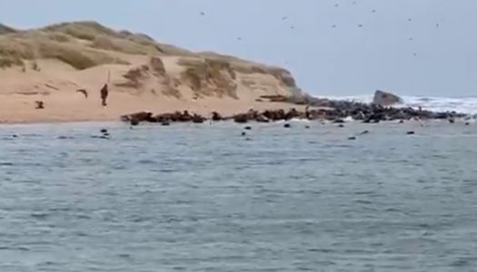 Man sends hundreds of terrified seals into a stampede at protected Aberdeenshire colony