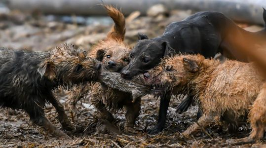 Pack of terriers kill 700 rats on farm in just seven hours