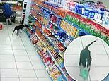 Hilarious moment a little dog runs out of a supermarket in Brazil after grabbing a bag of donuts