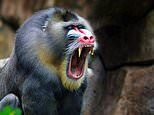 BABOON on the loose at Royal Prince Alfred Hospital