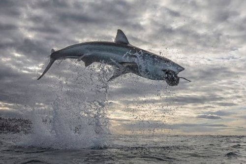 Great white shark soars 15ft into the air in highest recorded sea breach