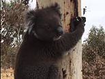 Adelaide koala burnt in the Cudlee Creek bushfire is released back into nature