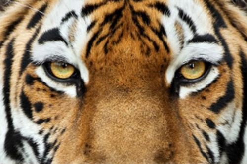 10 tiger facts!