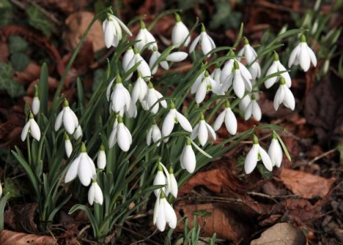 Snowdrops guide and walks