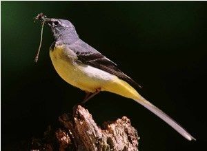 Bird Trends - Grey Wagtail