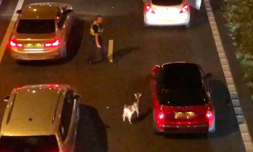 Goat on the loose brings M62 motorway to a standstill