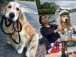 Adorable golden retriever celebrates completing radiotherapy