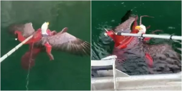Salmon farmers helped rescue a bald eagle from the clutches of an octopus trying to drown it