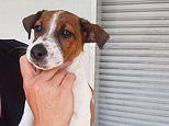 Fox terrier is locked in a hot car on a 26C day - before police smash their way in to save him
