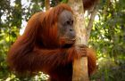 How to see Borneo's orangutans - while you still can