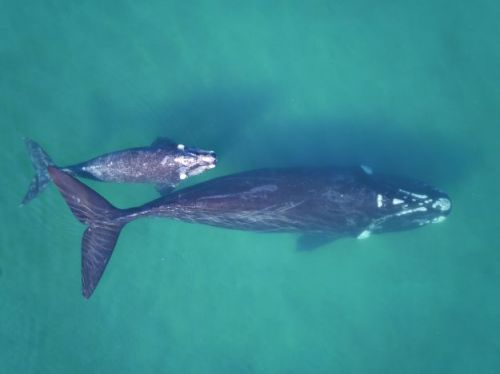 Drones used to weigh whales
