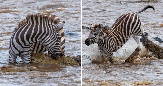 Zebra bites back at 8ft crocodile twice its weight and somehow wins