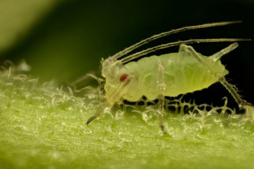 How aphids spit lncRNA into plants to make them a tastier prospect
