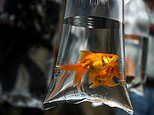 Council bans funfairs from giving away goldfish as prizes as RSPCA seeks national ban across UK