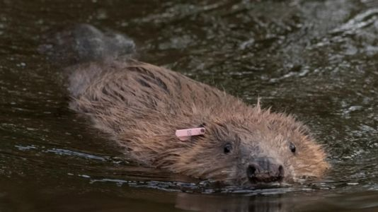 Government Decides Against Evicting Devon Beaver Families