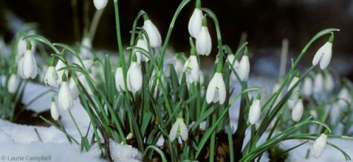 Lifting the petals of the Snowdrop