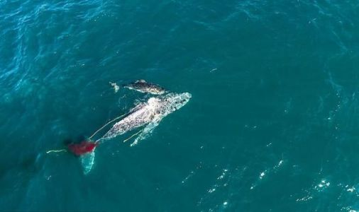 Shark attack: Watch 'strategic' Great White take down 10 METRE humpback whale