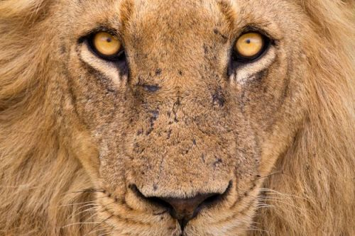 Lions face new poaching threat for body parts