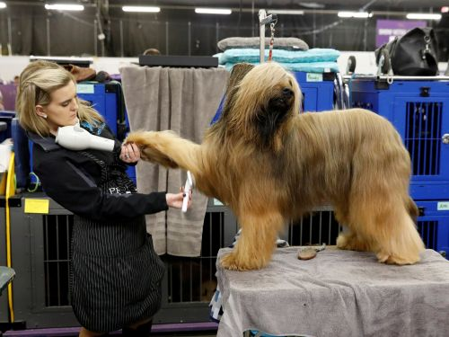 Photos show the over-the-top grooming routines of the Westminster Dog Show's most pampered pups