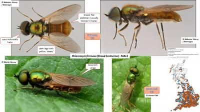 Identification guides for soldierflies and allies