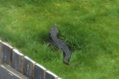 Mystery of crocodile spotted by woman lurking in neighbour's garden solved