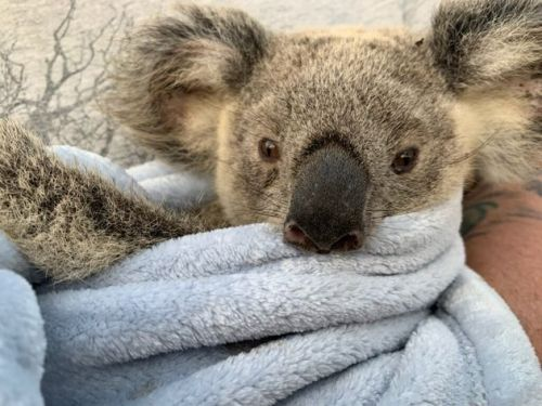 'From Heartbreak Comes Hope': Koala Rescuers Share Moving Recovery Stories