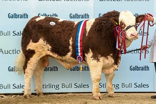 Simmental bull hits the Jackpot with 15,000gn sale