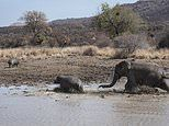 Elephants chase off hippos to claim the prime spot at South African watering hole