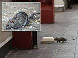 Hungry rats are becoming aggressive and turning on each other as they struggle to find food