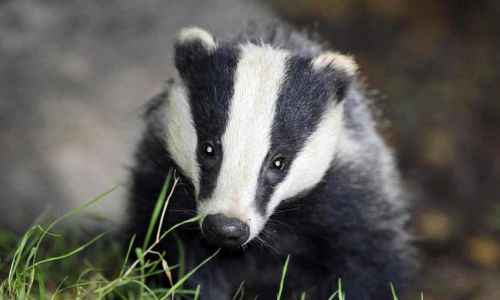 Farming industry to blame for TB crisis, not just badgers