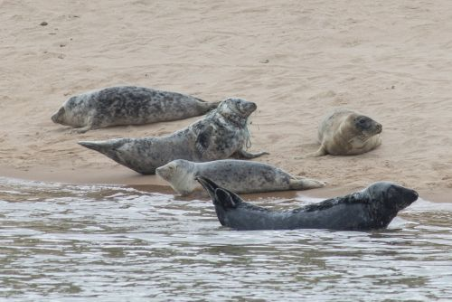 Concern as seal spotted tangled in discarded fishing rope at Aberdeenshire beach