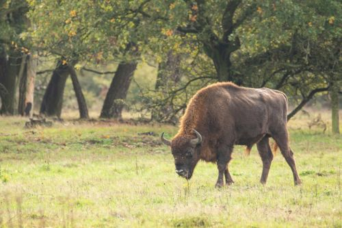 Wild bison will soon be roaming the British countryside