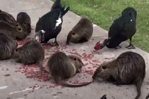 Giant swamp rats 'invade' park with public warned to 'stop feeding them'