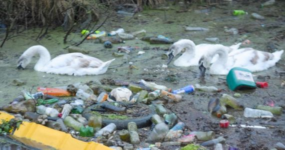 Swans forced to swim and wade through rubbish-filled canal in hunt for food