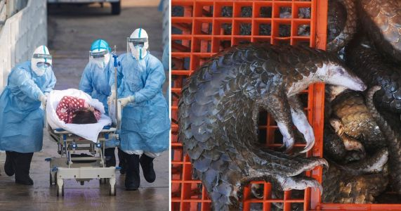 Chinese scientists think coronavirus came from 'illegal trafficking of pangolins'