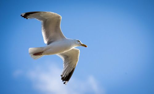 Seagulls will deliberately target humans for food, study reveals