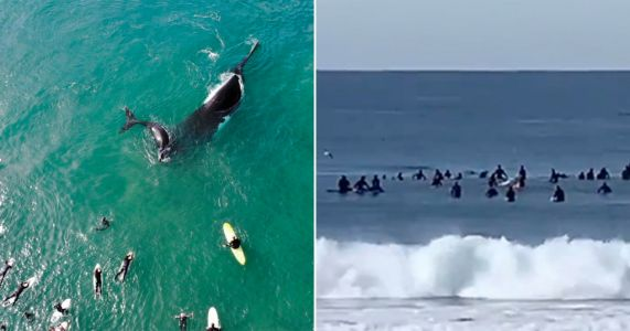 Incredible picture shows whale mother and calf frolicking with surfers