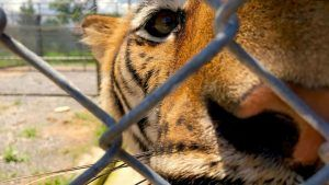 Director Laura Warner's new film exposes 'heartbreaking' tiger trafficking farms