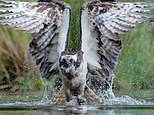Incredible images show Osprey diving into water to seize big fish
