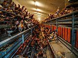 Free range chicken farm that supplies major supermarkets is STRIPPED of its licence by the RSPCA