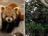 The great escape! Cheeky red panda who made his SECOND bid for freedom in three months is recaptured
