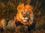 Escaped lion kills a man and is running loose after escaping from a wildlife reserve in Nairobi
