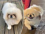 Stylish pup with impressive bob leads a pampered life