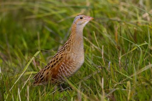 Future of corncrakes uncertain