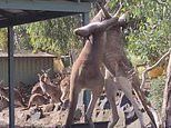 Kangaroos BRAWL outside a pub in Perth, Western Australia