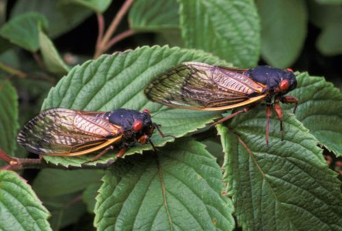 Cicadas like to be on time. But are they getting confused by climate change?
