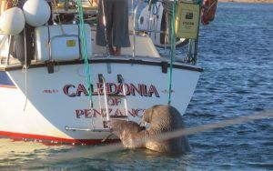 Wally the Walrus: boat owners asked to block bathing platforms