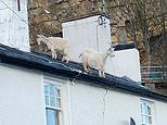 Great Orme goats trot on roof of terraced property in Llandudno