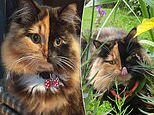 Chimera Cat was issued from two dads and has dual black and ginger fur on her face